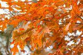 Colorful Scarlet Oak Leaves In Fall