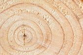 stock photo of pinus  - Growth rings of a recently felled pine tree - JPG