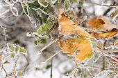 Frozen Leaves Background