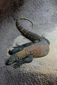 Komodo dragon (Varanus komodoensis).