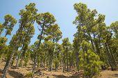 Pine Tree Forest In La Palma. Canary Islands. Spain