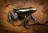 stock photo of rainforest animal  - tropical poison frog Phyllobates aurotaenia from the Amazon rain forest of Colombia - JPG