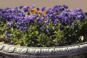 Purple Pansies In Street Planters