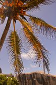 Coconut Palm In The Seychelles With Granite Rocks