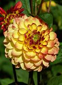 Beautiful Dahlias