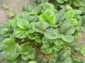 Strawberry Seedlings On Bed In Garden. Growing Fruits And Berries