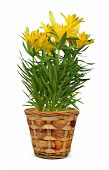 Yellow lily flowers in pot
