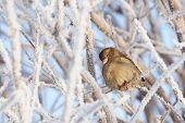 Sparrow sitting in frost bush