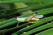 image of leaf insect  - insect on leaf Grasshopper perching on a leaf - JPG