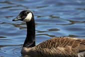 foto of canada goose  - A Canada Goose  - JPG