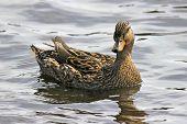 stock photo of duck pond  - A female mallard duck  - JPG