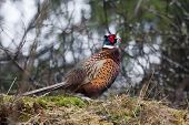 pic of pheasant  - a pheasant cock standing on a hill - JPG