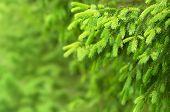foto of coniferous forest  - Coniferous forest - JPG