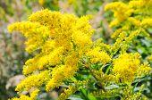 pic of goldenrod  - Blooming Goldenrod - JPG