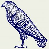 image of hawk  - Hawk - JPG