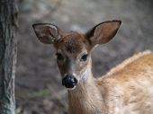 Fawn Looking Into The Camera poster