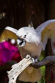 stock photo of cockatoos  - White cockatoo perched on a branch enjoying the sun at the aviary - JPG