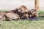 pic of cheetah  - young cheetah in the afternoon on green grass feeding in a zoo in California - JPG
