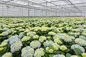 foto of hydrangea  - Dutch Greenhouse with cultivation of beautiful  hydrangea - JPG