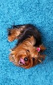 picture of yorkshire terrier  - Cute Yorkshire terrier dog on blue carpet background - JPG