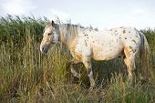 picture of appaloosa  - A beautiful appaloosa stallion horse walking through long reeds - JPG