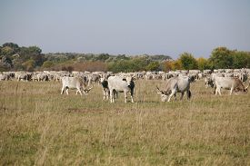 stock photo of calf cow  - Hungarian gray cattle cows with calves grazing on pasture summertime - JPG