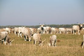 pic of calf cow  - Hungarian gray cattle cows with calves grazing on pasture summertime - JPG