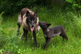 stock photo of lupus  - Grey Wolf Pup  - JPG