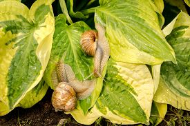 picture of garden snail  - Two garden snail on green and yellow hosta leaves - JPG