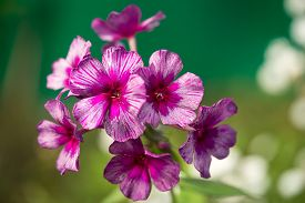 stock photo of rare flowers  - Purple and pink rare colored phlox flower - genus of flowering herbaceous plants with beautiful bokeh selective focus ** Note: Shallow depth of field - JPG