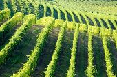 Vineyards panorama, Barbaresco hills, piemonte, Italy