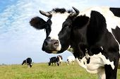 Black and white milch cow on green grass pasture over blue sky