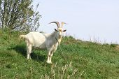 picture of billy goat  - goat - JPG