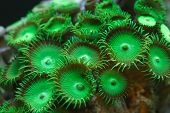 Parazooanthid Coral