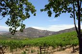 Vineyards of North County San Diego framed by trees and gently rolling mountains.