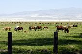 Dozens of horses grazing on ranchlands in the Eastern Sierra Mountains of California.