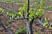 Springtime brings new growth in the Turcan vineyards