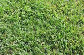 stock photo of fescue  - Grassy background - JPG