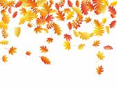 Oak, Maple, Wild Ash Rowan Leaves Vector, Autumn Foliage On White Background. Red Gold Yellow Sorb D poster