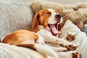 Beagle Tired Sleeping On Couch Yawning poster