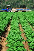 foto of potato-field  - Healthy green potato field with tractor and trailer working in the background - JPG
