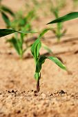 close-up of a young healthy maize plant