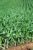 young maize plant in rows