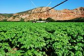 Potato field with irrigation system