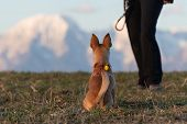 Cute Little Dog Sitting In Grass And Waiting Alertly, A Person And Mountains Visible In Background.  poster
