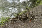A Wild Mother Duck By A Pond With A Clutch Of Fuzzy Ducklings poster