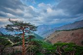 Pine tree in Seoraksan National Park in stormy weather, South Korea poster