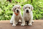 Cute labrador puppy dogs sitting on wooden desk looking in camera - green foliage background poster