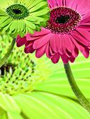 stock photo of single flower  - Close up abstract of colorful daisy gerbera flowers - JPG