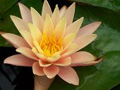 stock photo of water lily  - This is an image of a yellow and pink water lily - JPG